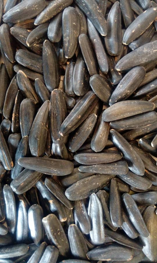 بذر تخمه آفتابگردان شمشیری