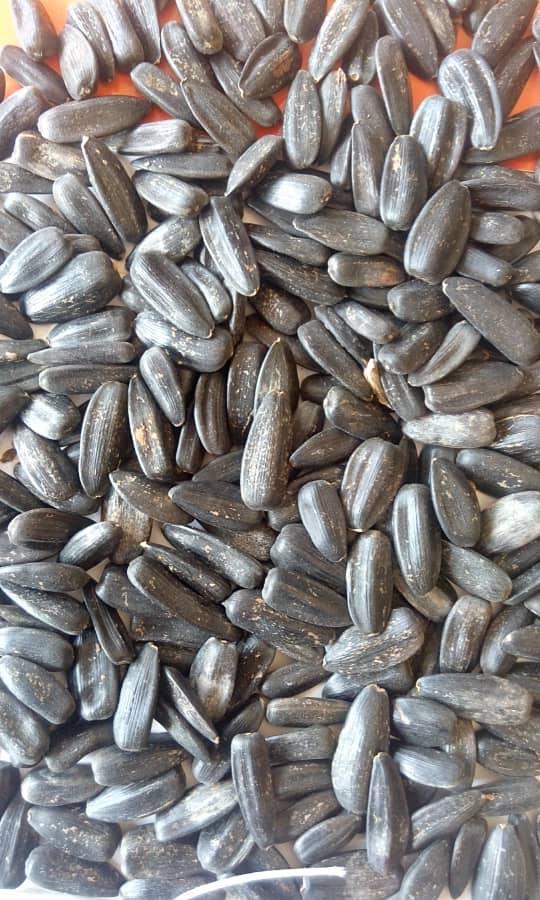 بذر تخمه آفتابگردان بادامی