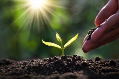 بذر تخمه آفتابگردان خوی
