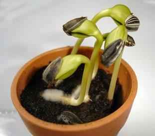 جواجوانه زنی بذر تخمه آفتابگردان